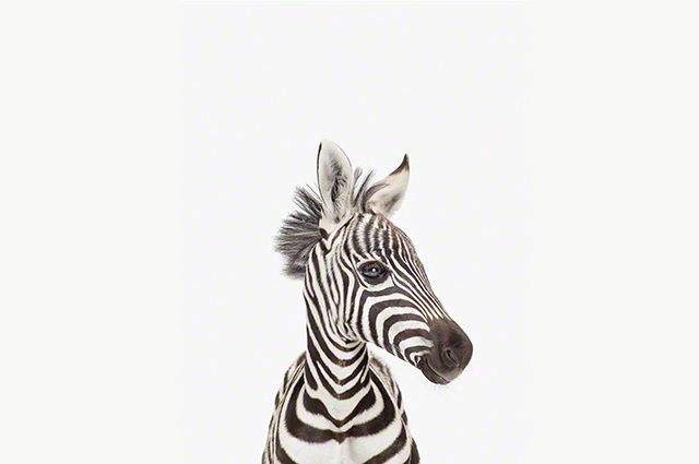 Print Baby Zebra - The Animal Shop by Sharon Montrose